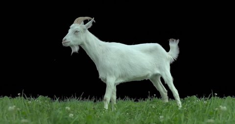 Goat on green meadow. Production quality clip with alpha matte. ProRes 422HQ