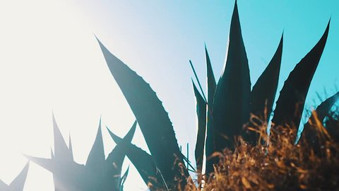 Cinematic scene of agave from Mexico. Traditional plant for cultural beverage pulque. Mexico hot desert. panoramic lens flare of Maguey