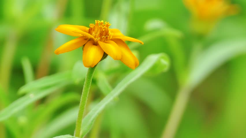 Yellow flower with four petals in the suburbs stock footage video the background image of the colorful flowers background nature 4k stock video clip mightylinksfo
