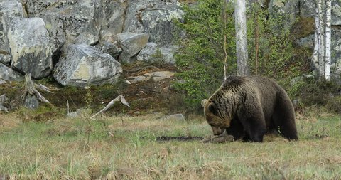 Big brown bear walking around lake in the summer sun. Dangerous animal in the forest. Wildlife scene from Europe. Brown bird in the nature habitat with water, Russia. Bear with reflection in water.