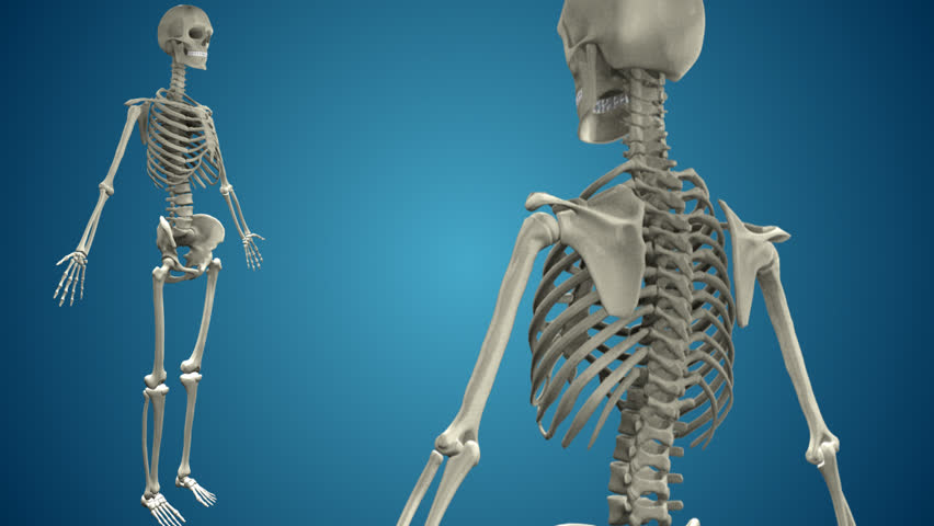 Realistic Human Skeleton 360º view with loop