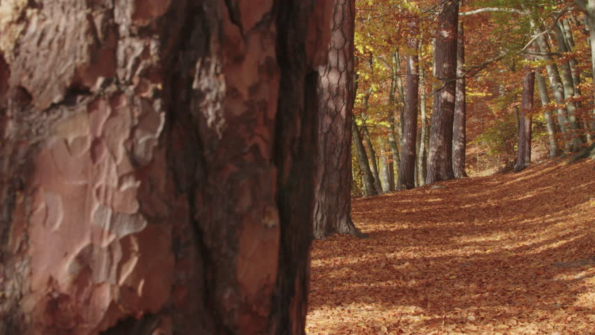 A colorful autumnal path in the midst of a beech pine forest. The path is littered with autumnal foliage. On the pine trunks play the shadows of the leaves catch.