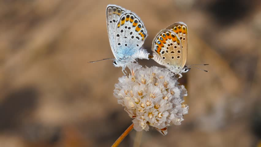4k. Copulation of Plebejus argus on the inflorescence of Armeria pungens. Beautiful detail image of these butterflies during copulation