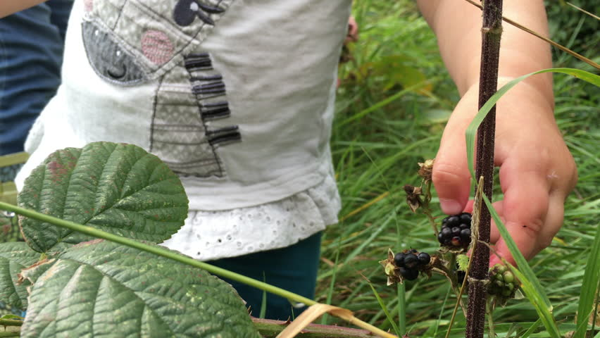 Little toddler girl foraging for blackberries in a country meadow hedgerow