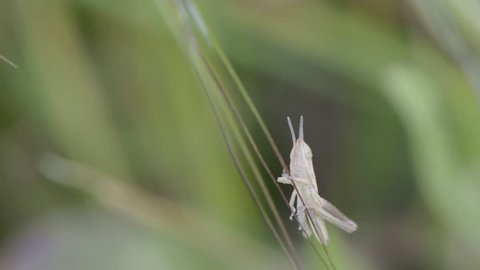Springtime. Macro shot of a brown grasshopper sitting on a blade of grass.