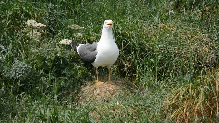 Header of black-backed gull