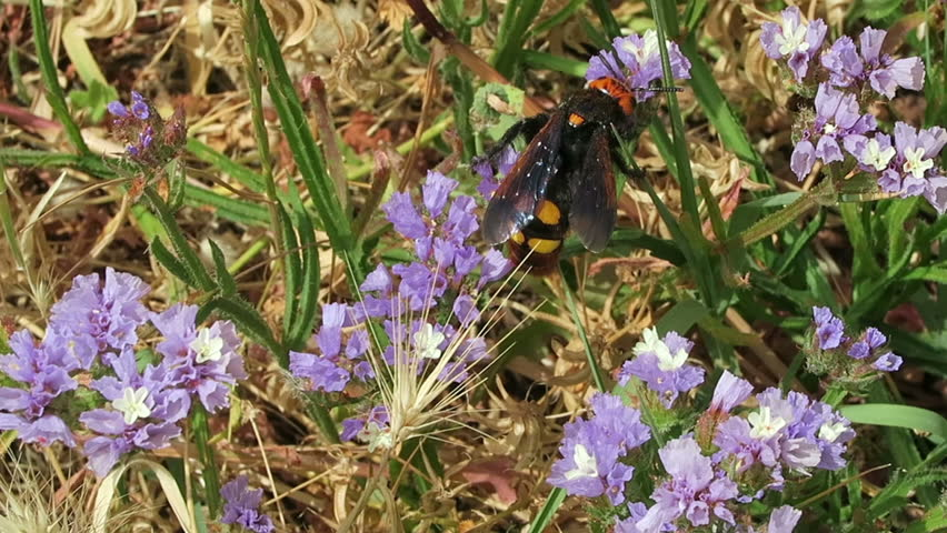Scoliid wasps (Megascolia maculata), biggest of all european wasps. looking for collecting nectar on sea-lavender (Limonium). found in Crete, Bay of Malia.