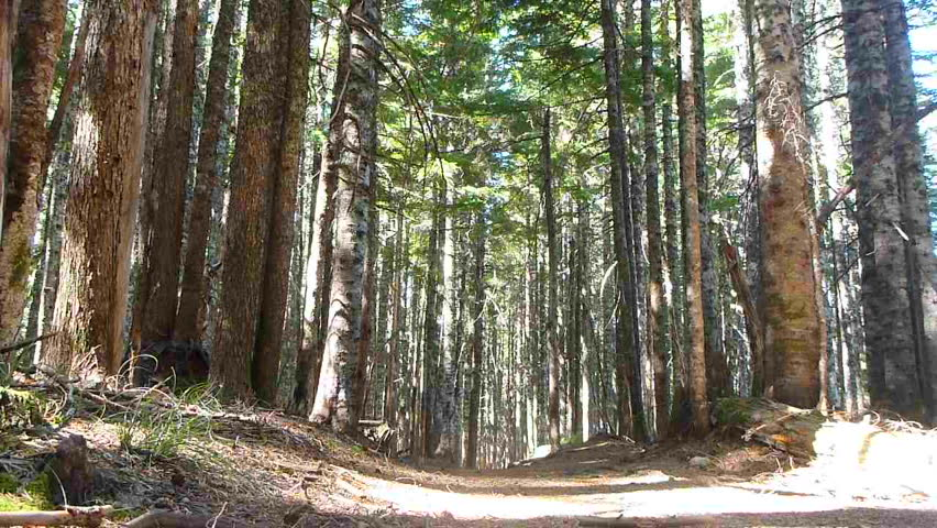 Model released man hikes away, down trail through thick forest in the Pacific Northwest, Oregon.