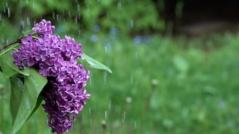 Jets of water fall on a bush of blossoming lilacs. Slow motion, slowed down ten times from 240 fps to 24 fps