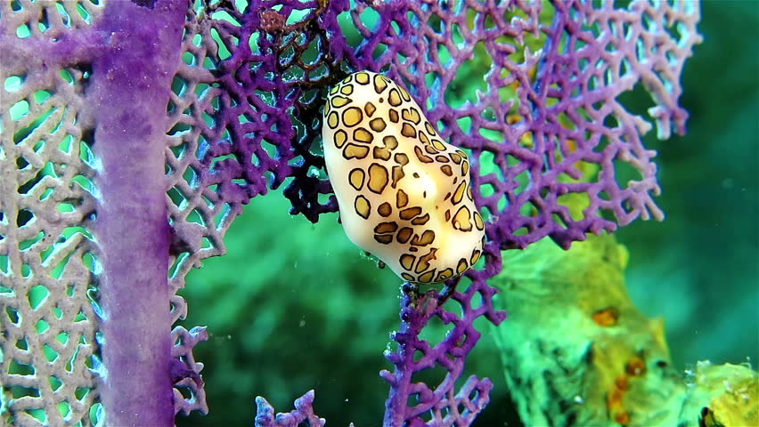 Small Nudibranch on the violet coral