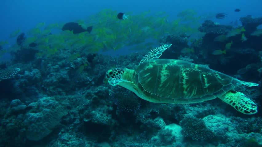 A beautiful green turtle swims past schools of colorful fish. Australia.