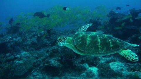A beautiful green turtle swims past schools of colorful fish. Australia.