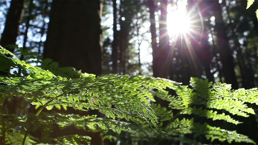 Sun Glimmering through Ferns tracking, dolly shot