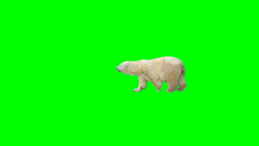 Polar bear walking across the frame on green screen, real shot, isolated with chroma key, perfect for digital composition, cinema, 3d mapping