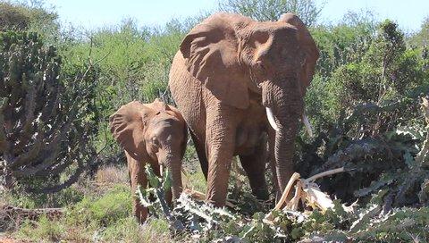 Elephants feeding on bark or Euphorbia cactus