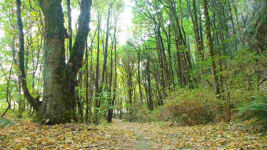 Man walks in dense forest on trail full of leaves in Oregon.
