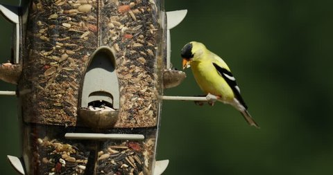 Male American Goldfinch (Spinus tristis) eating at a bird feeder. The American Goldfinch is the state bird of Iowa, New Jersey, and Washington.