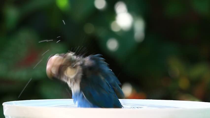 Happy blue lovebird taking a bath with water splash on blurred garden background