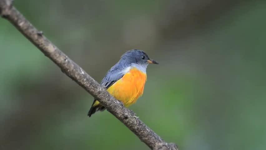 Bird (Orange-bellied Flowerpecker) , Thailand | Shutterstock HD Video #2830678