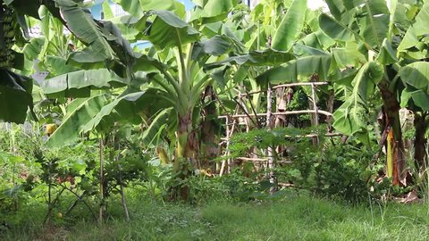 A tropical allotment garden, primarily banana trees, but with other smaller fruit trees such as lemon and papaya.