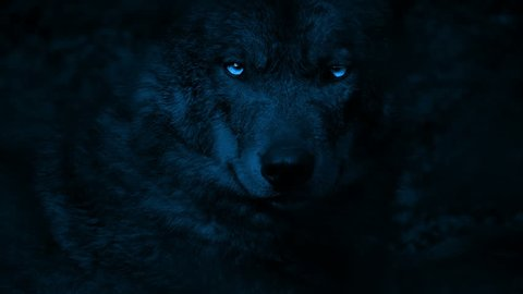 Wolf Growls With Bright Eyes In The Dark