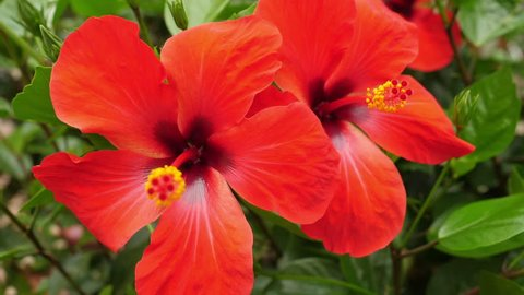 Tropical red hibiscus flowers in tree.