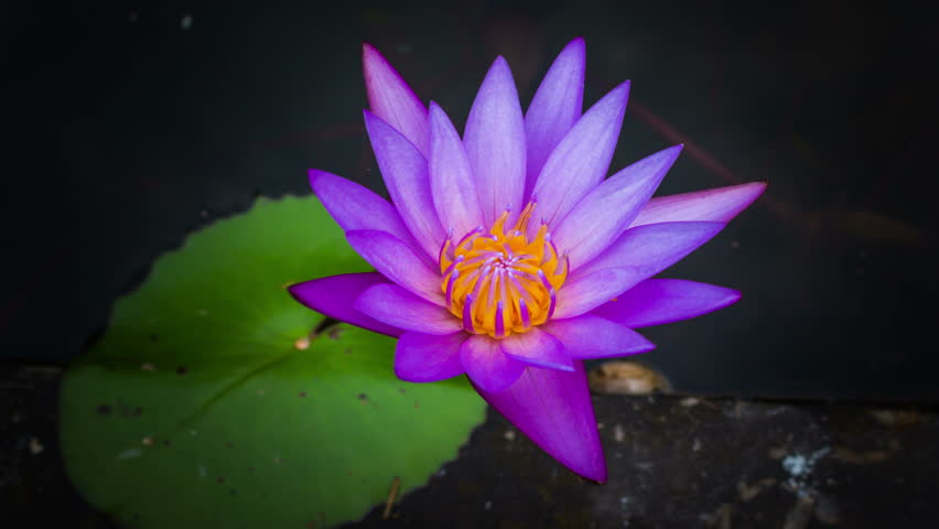 The Lotus Flower Opens At Stock Footage Video 100 Royalty Free