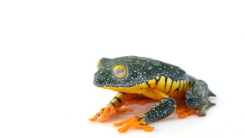 Amazon Leaf Frog (Cruziohyla craspedopus) jumps out of frame in slow motion