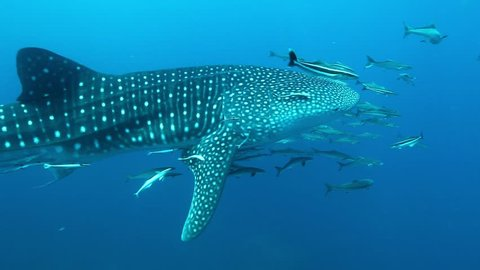 Whale Shark swimming near surface with Remora and Cobia fish, Losin Island, Thailand