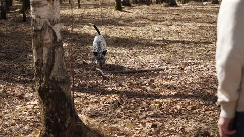 Dalmation dog running with a piece of wood on a field. Dalmatian dog with a stick, slow motion