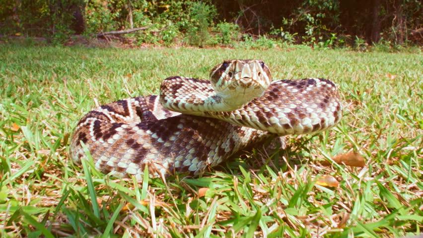 Eastern Diamondback Rattlesnake bites camera, slow-motion, 1/2 natural speed