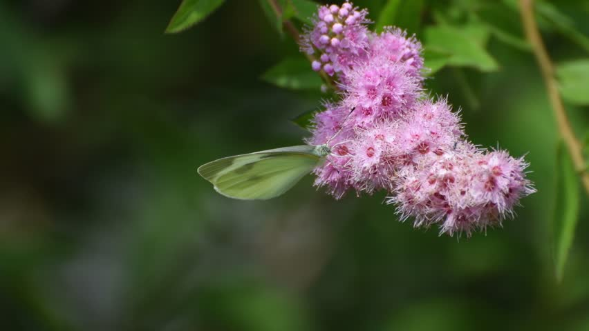 A cabbage butterfly(Artogeia rapae) feeds on a pink spirea(Spiraea salicifolia L) (CLOSEUP) | Shutterstock HD Video #28646893