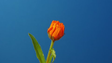Opening  marigold on blue background. Time lapse 4K 3840X2160 UltraHD footage