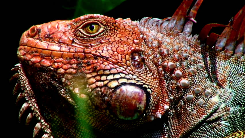 Big Iguana Lizard In Terrarium | Shutterstock HD Video #2869063