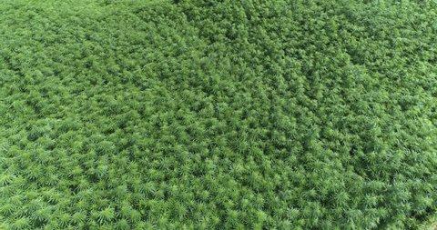 Marijuana field blows in wind