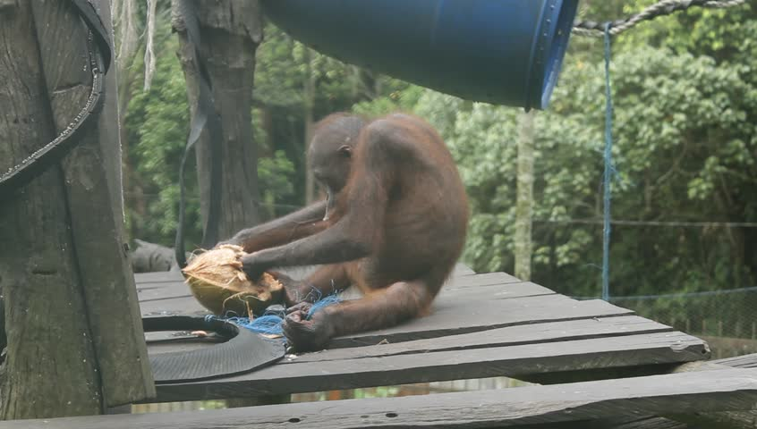 borneo orangutan eating