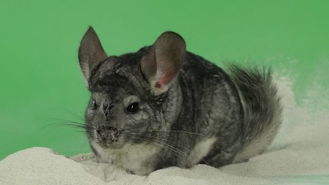 Bathing chinchilla in sand for these animals. Green background, closeup