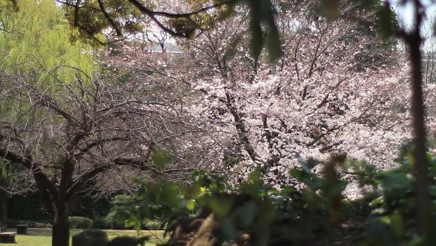 Cherry blossom at Kiyosumi Shirakawa 2017.04.05 in Tokyo   Shutterstock HD Video #28759153