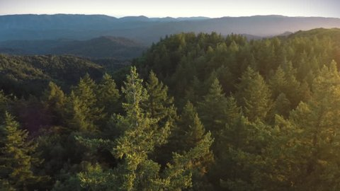 Aerial drone view over over pine forest and redwood forest in Big Basin Park