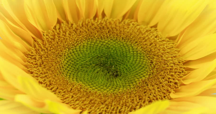 Stunning Sunflower Blooming. Extreme Close-up of a blooming sunflower. Studio Time Lapse shot over 6 days.4K resolution.