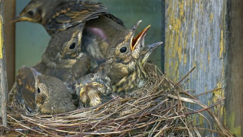 Thrush chicks flounder in nest against background of wall of an old wooden village house.