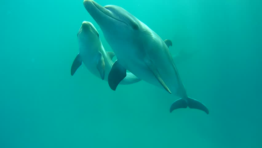 Two Dolphins mom with baby swim on a blue water background - Abu Dabbab, Marsa Alam, Red Sea, Egypt, Africa