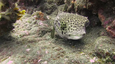Porcupine fish are fish belonging to the family Diodontidae, also commonly called blowfish and, sometimes, balloonfish and globefish.