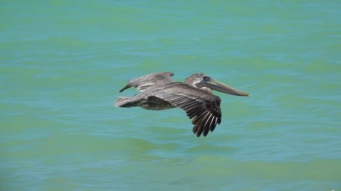 SLOW MOTION, CLOSE UP: Stunning brown Mexican pelican flapping wings flying close above the sea surface, Yucatan peninsula, Mexico. Detail of beautiful wild bird soaring in the sky above the ocean
