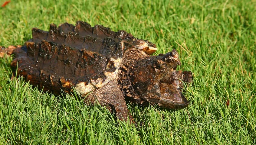 Alligator snapping turtle(Macrochelys temminckii) in grass. | Shutterstock HD Video #28938793