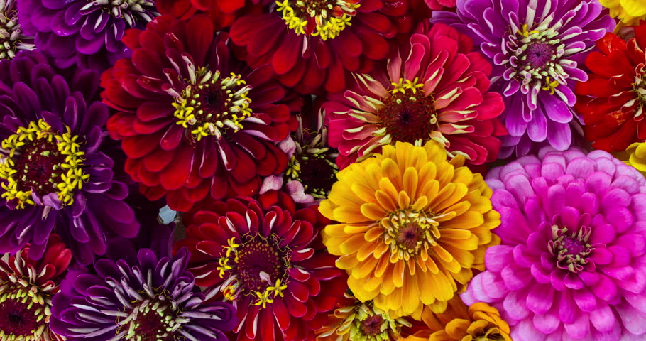 Zinnia Flowers Blooming. A Time Lapse of a large group of vibrant colorful flowers blooming.