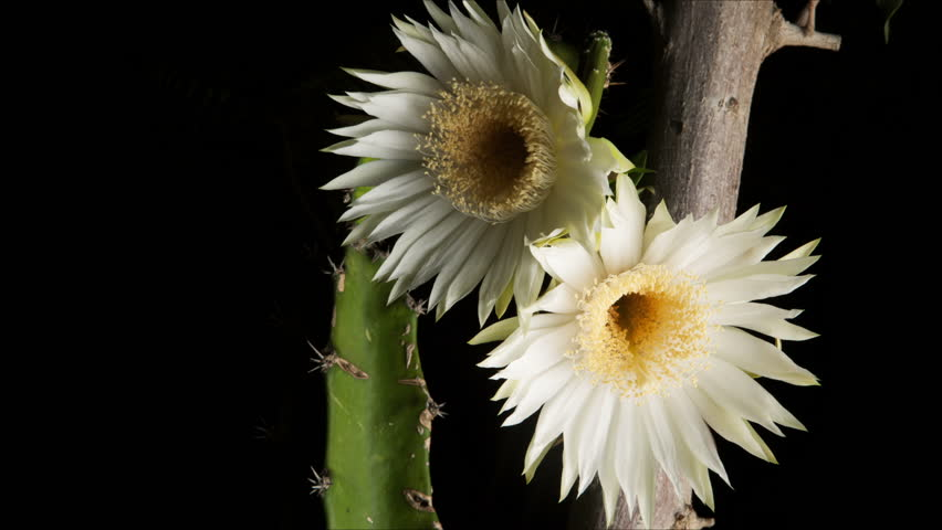 Night Blooming Cereus Cactus Flower timelapse. Common names include Arizona queen of the night, night blooming cereus, princess of the night, Honolulu queen ...