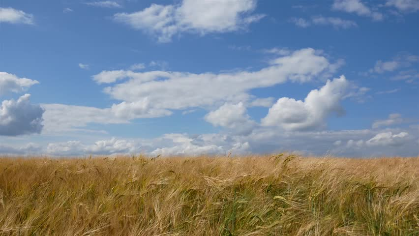Wheat field, golden spikelets. Blue sky with white clouds #28995685