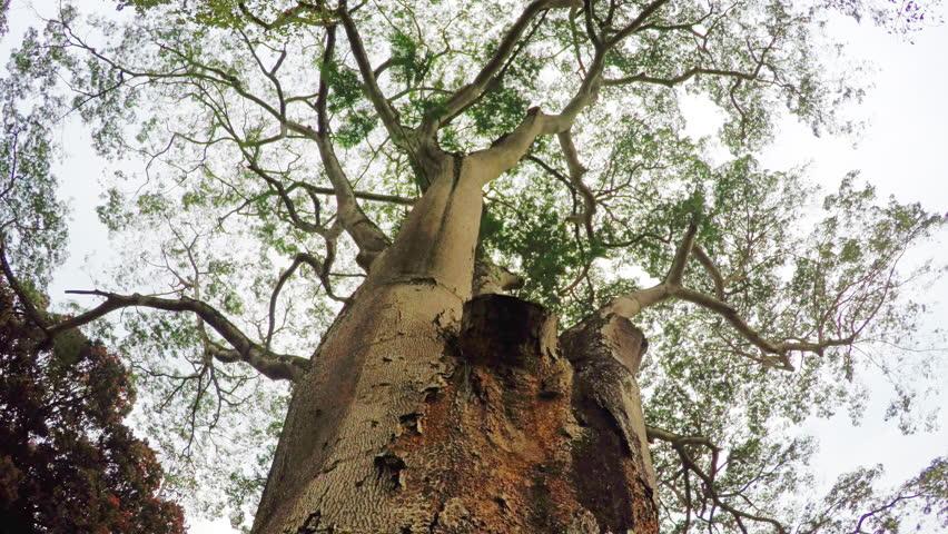 Header of kauri pine