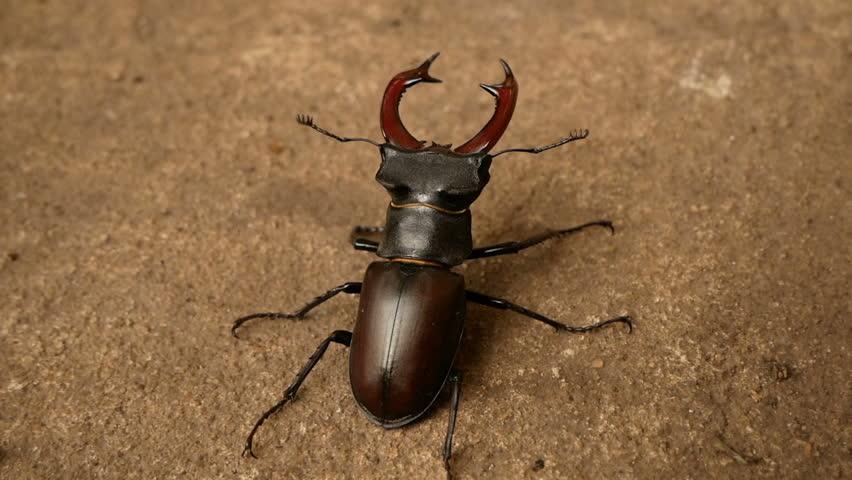 big stag beetle